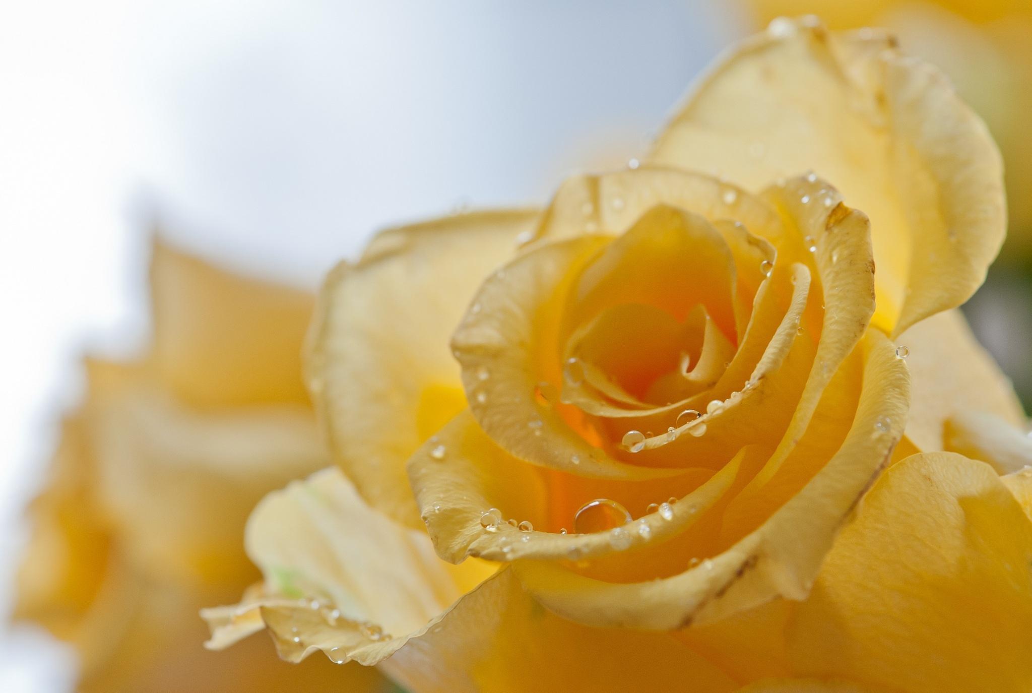 Обои цветок фото роза