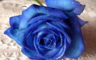 Фото бесплатно синяя, роза, лепестки, капли, роса, макро, цветы