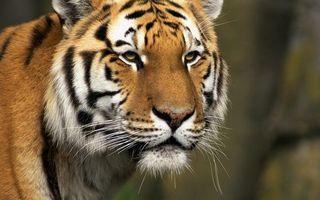 Фото бесплатно глаза, полосатый, хищник
