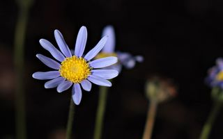 Бесплатные фото цветок,ромашка,лепестки,синие,серединка,стебель,фон