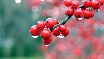 Обои ягоды, ветка, красные, вода, капли, красиво, природа