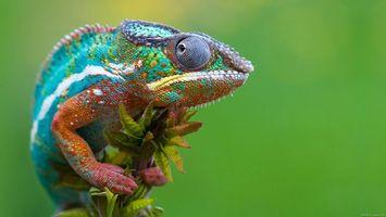 Заставки хамелеон, ящірка, гілка, зелений, рептилія, животные