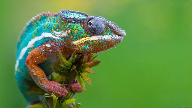 Фото бесплатно хамелеон, ящірка, гілка