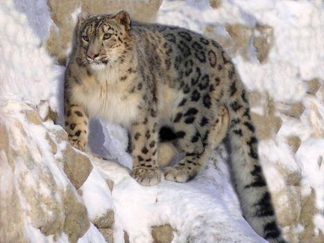 Заставки животные, кошки