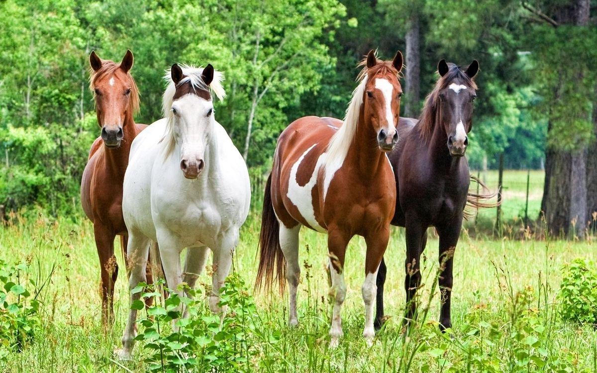 Фото бесплатно жеребцы, кони, жеребец - на рабочий стол