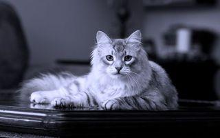 Бесплатные фото кот,пушистый,стол,фото,черно-белое,кошки
