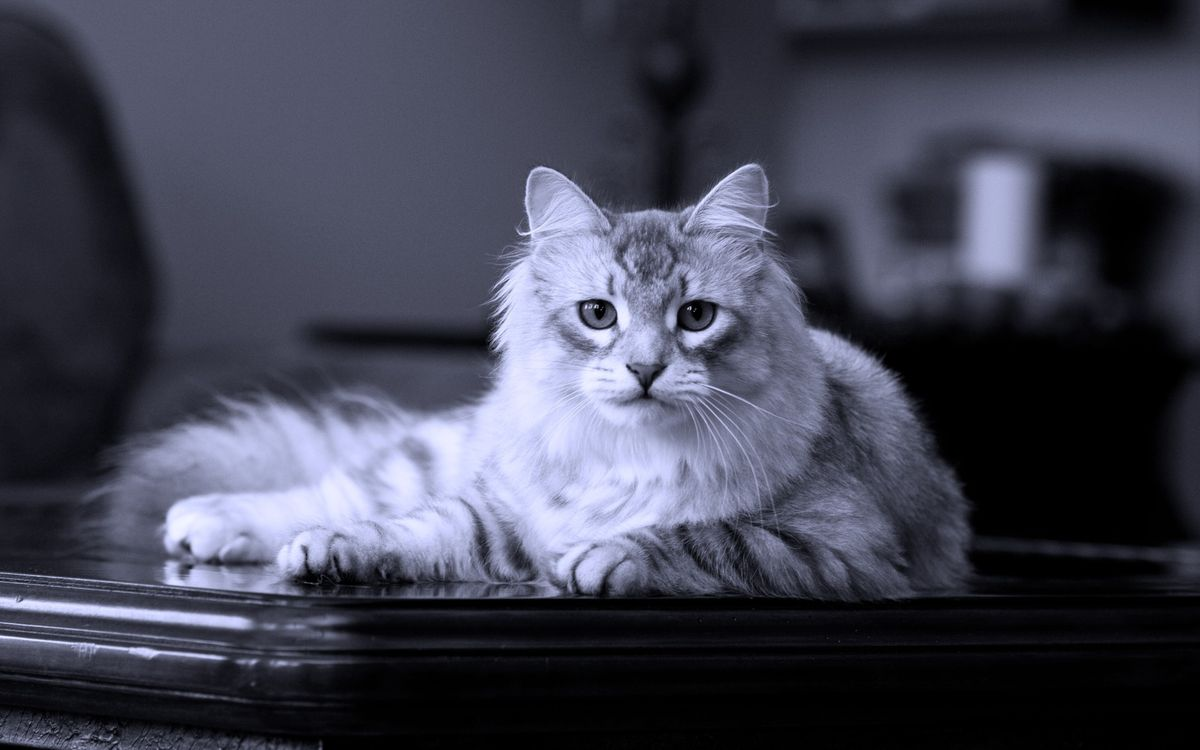 Фото бесплатно кот, пушистый, стол - на рабочий стол