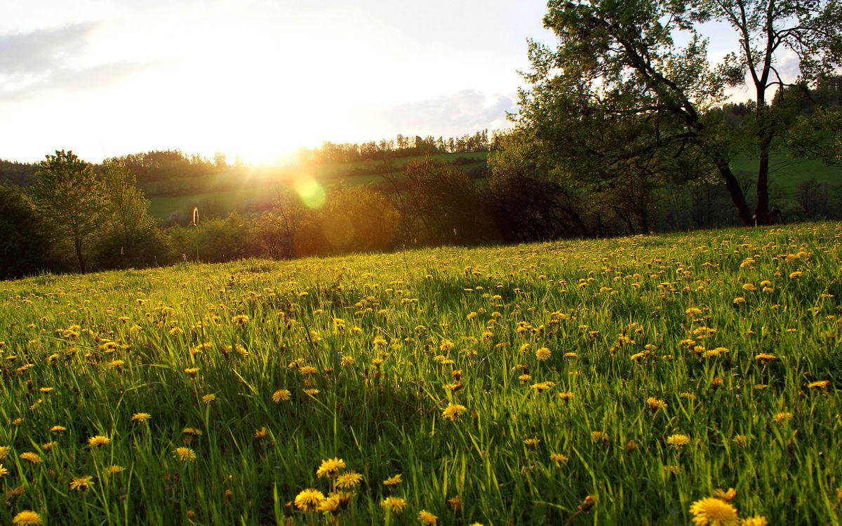 Фото бесплатно одуванчики, поле, цветы - на рабочий стол