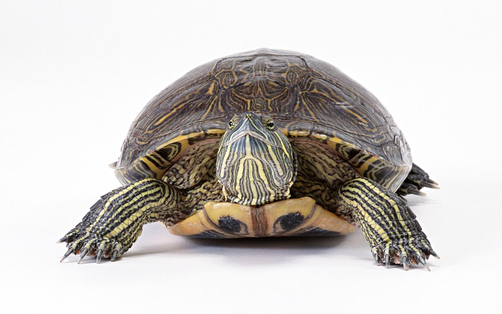 Обои картинки фото черепаха большая