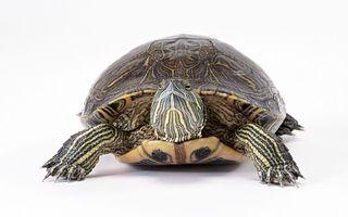 Фото бесплатно черепаха, большая, панцирь