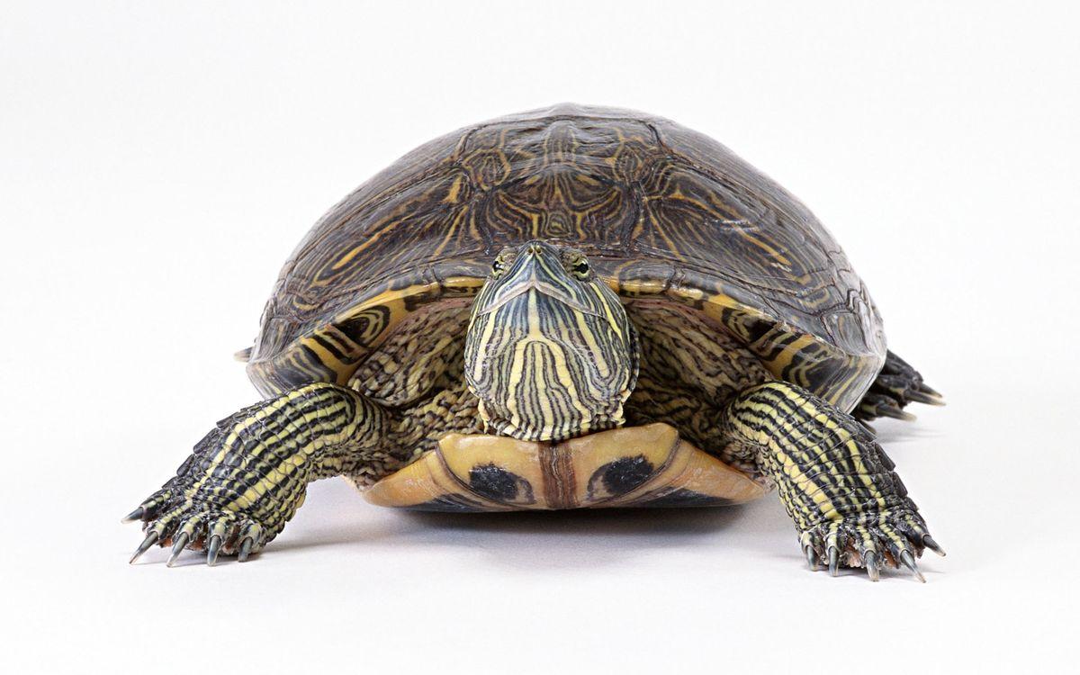 Фото бесплатно черепаха, большая, панцирь - на рабочий стол