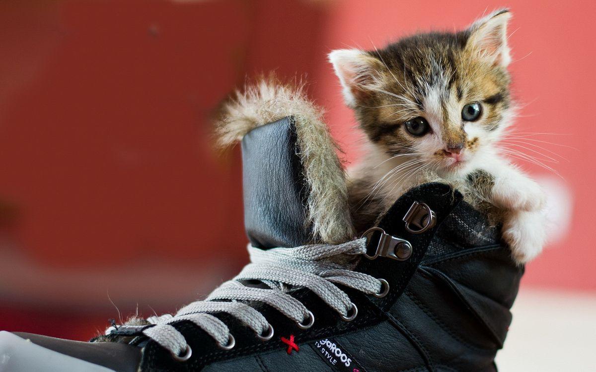 Фото бесплатно котенок, пятнистый, кроссовок, шнурки, ситуации, кошки, кошки