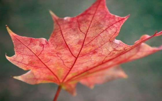 Photo free veins, maple, November