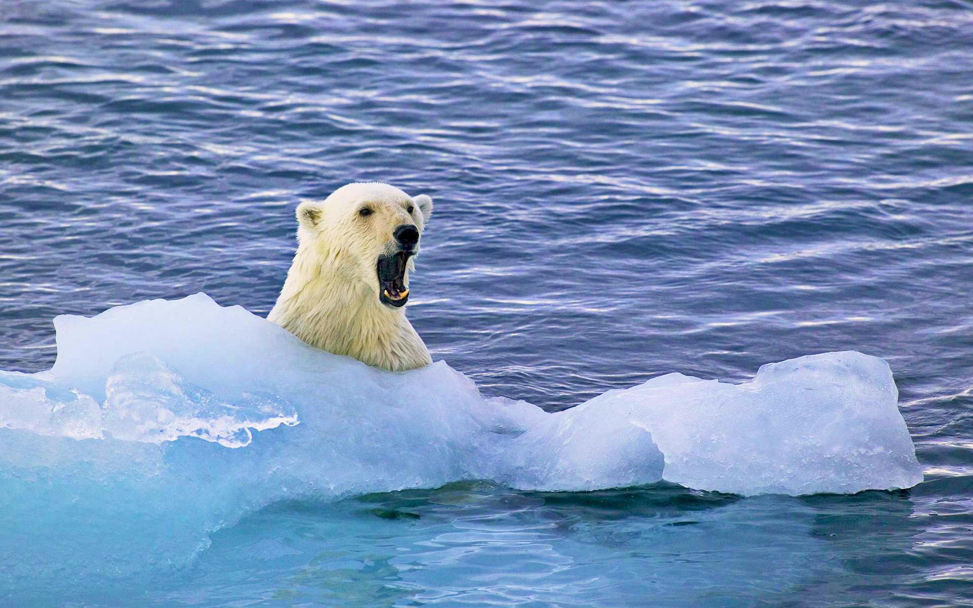море, лёд, медведь
