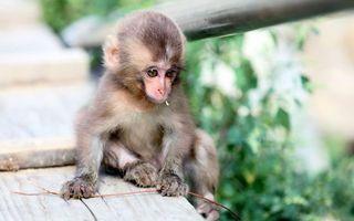 Фото бесплатно обезьяна, маленькая, морда