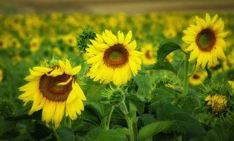 Фото бесплатно поле, подсолнухи, цветы