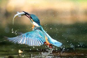 Фото бесплатно птичка, ловит, рыбу