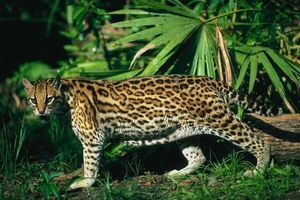 Заставки оцелот, кішка, амазонка