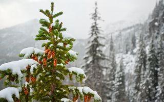 Обои елка, снег, шишки, зима, лес, природа