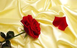 Фото бесплатно роза, лепестки, красные
