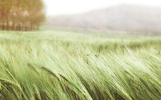 Бесплатные фото колосья,трава,лето,поле,зеленая,пшеница,ветер