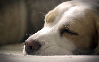 Фото бесплатно сон, собака, красота