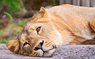 Фото бесплатно львица, лежит, скала