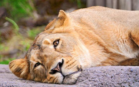Бесплатные фото львица,лежит,скала,камень,взгляд,кошки