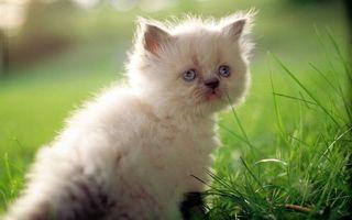 Бесплатные фото котенок,пушистый,морда,грустная,глаза,голубые,трава