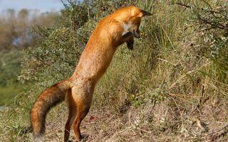 Фото бесплатно лиса, прыжок, шерсть
