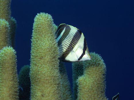 Фото бесплатно полипы морские, рыба, полосатая