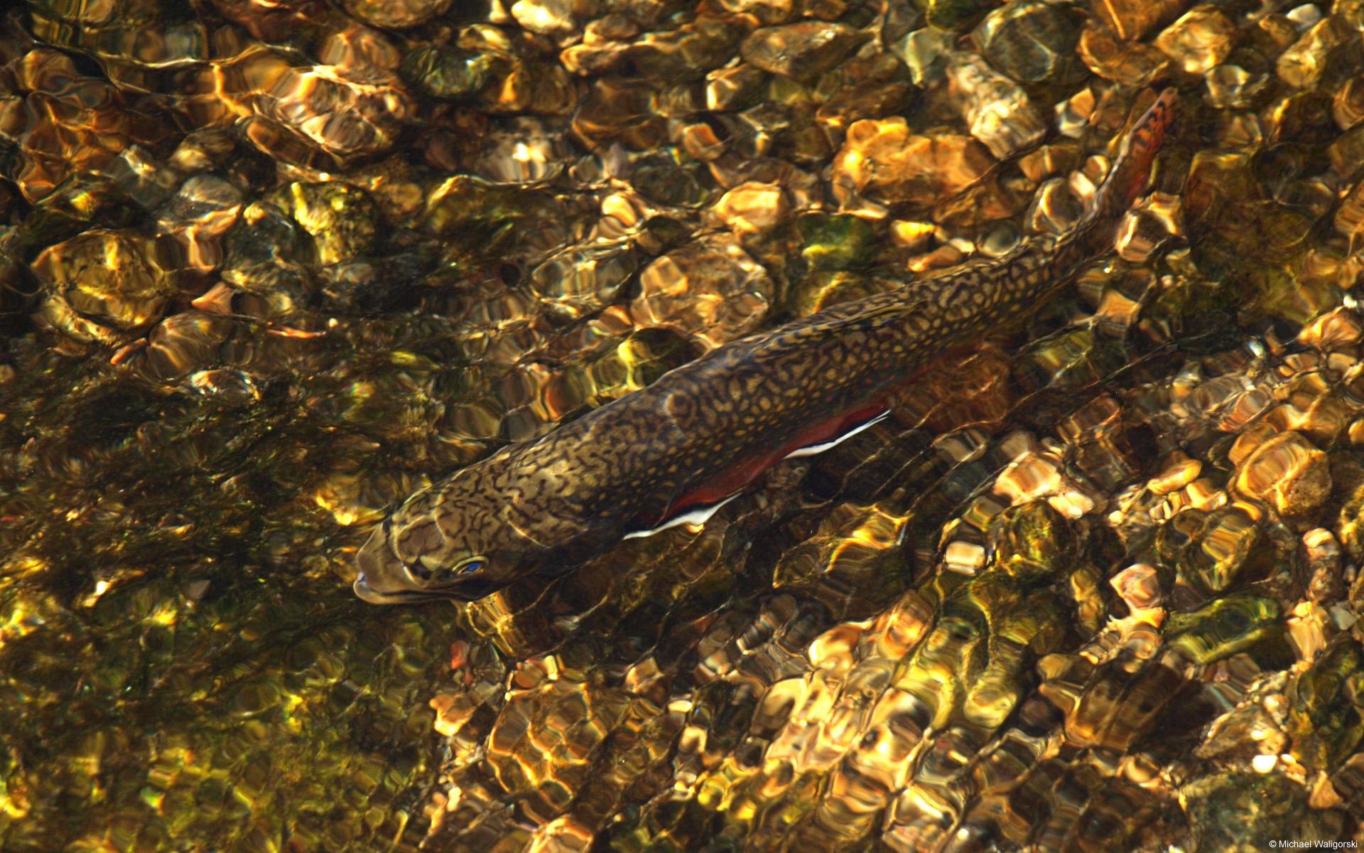 рыба, река, камни