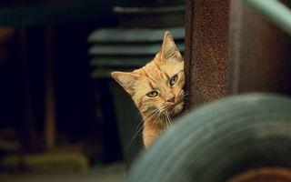 Бесплатные фото рыжий, кот, морда, усы, уши, глаза, кошки