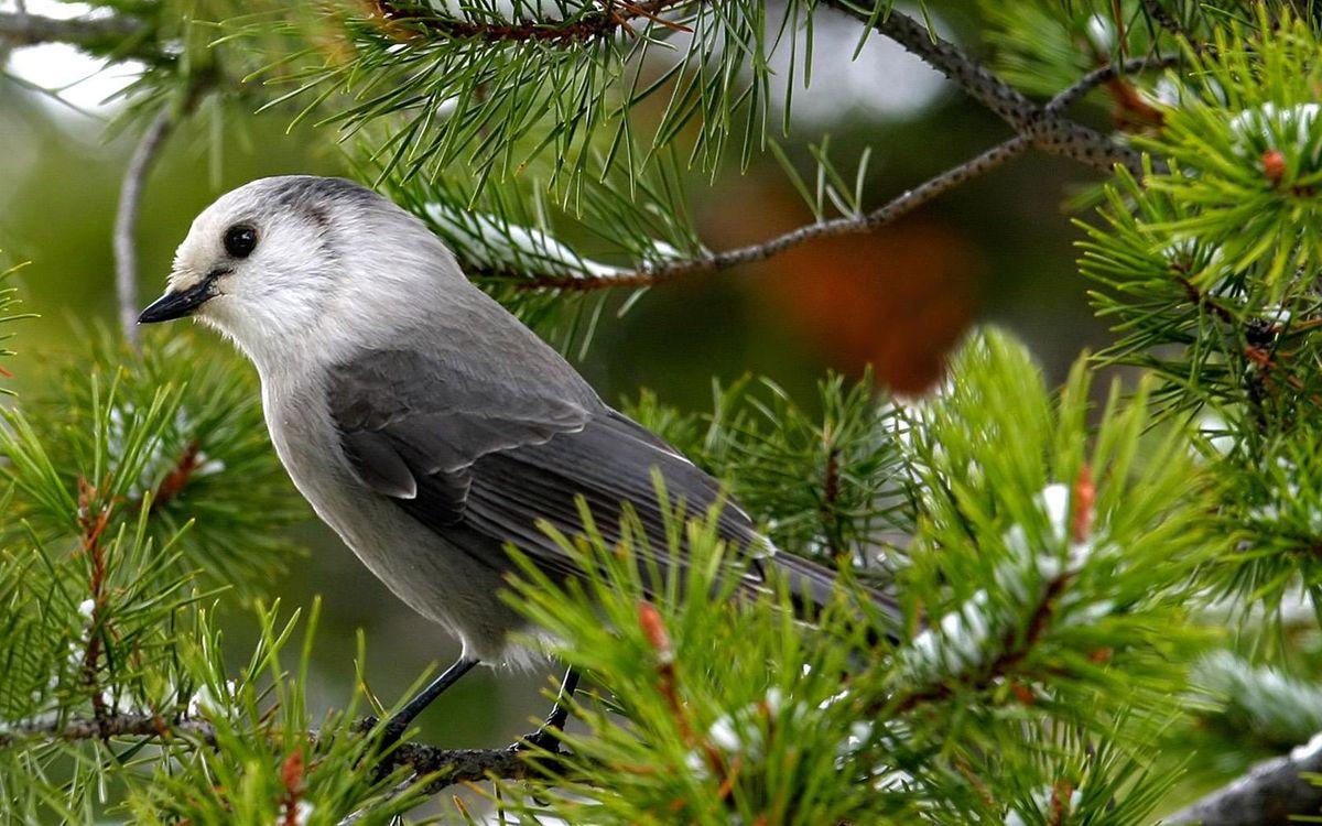 Фото бесплатно сосна, ветки, иголки, снег, птичка, клюв, перья, птицы, птицы