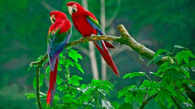 Заставки ветка, листья, попугаи