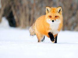 Заставки зима, снег, лиса