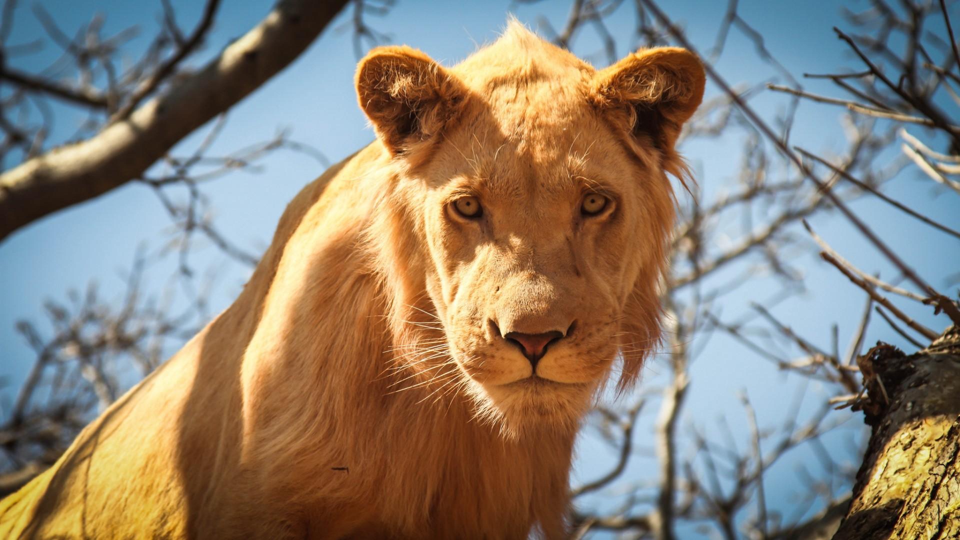 фото львов на рабочий стол понимать
