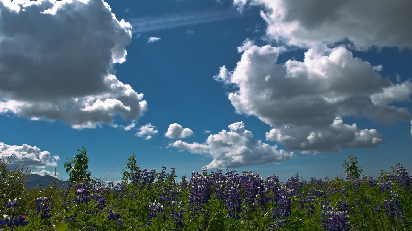 Фото бесплатно небо, облака, трава, поле, луг, лепестки, фиолетовые, лето, природа, цветы, цветы