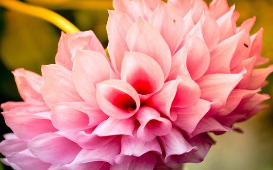Фото бесплатно пион, лепестки, розовые