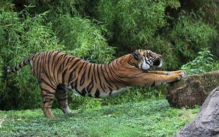 Заставки тигр, зверь, хищник, лапы, полоски, шерсть, камень, деревья, животные