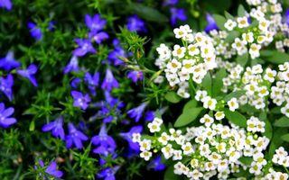 Бесплатные фото цветки,листья,лепестки,белые,синие,клумба,стебли
