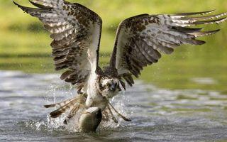 Фото бесплатно орёл, поймал, рыбу