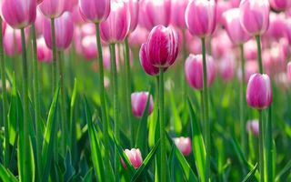 Бесплатные фото flowers hd,зелень,flowers bokeh,цветок,цветы,tulips wallpapers,цветки