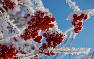 Фото бесплатно калина, ягода, красная