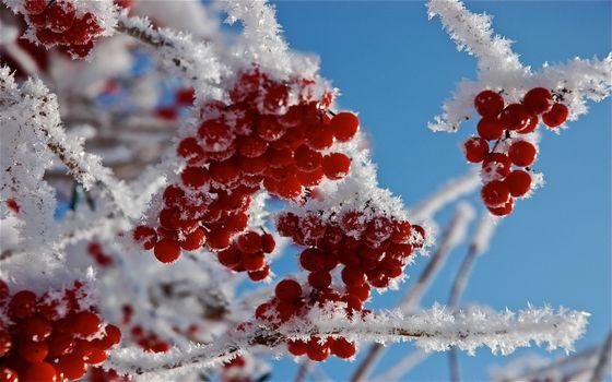Photo free viburnum, berry, red