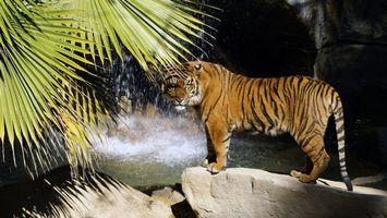 Бесплатные фото тигр,водопад,валун,брызги,папоротник,кошки,природа