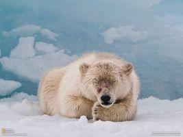 Заставки белый, медведь, северный
