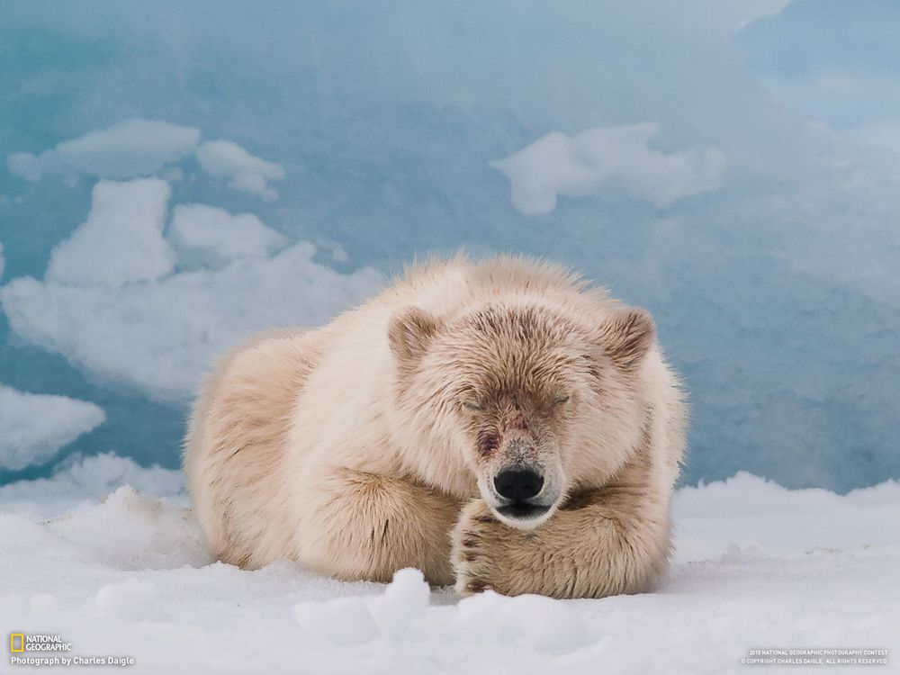 Фото бесплатно белый медведь северный - на рабочий стол