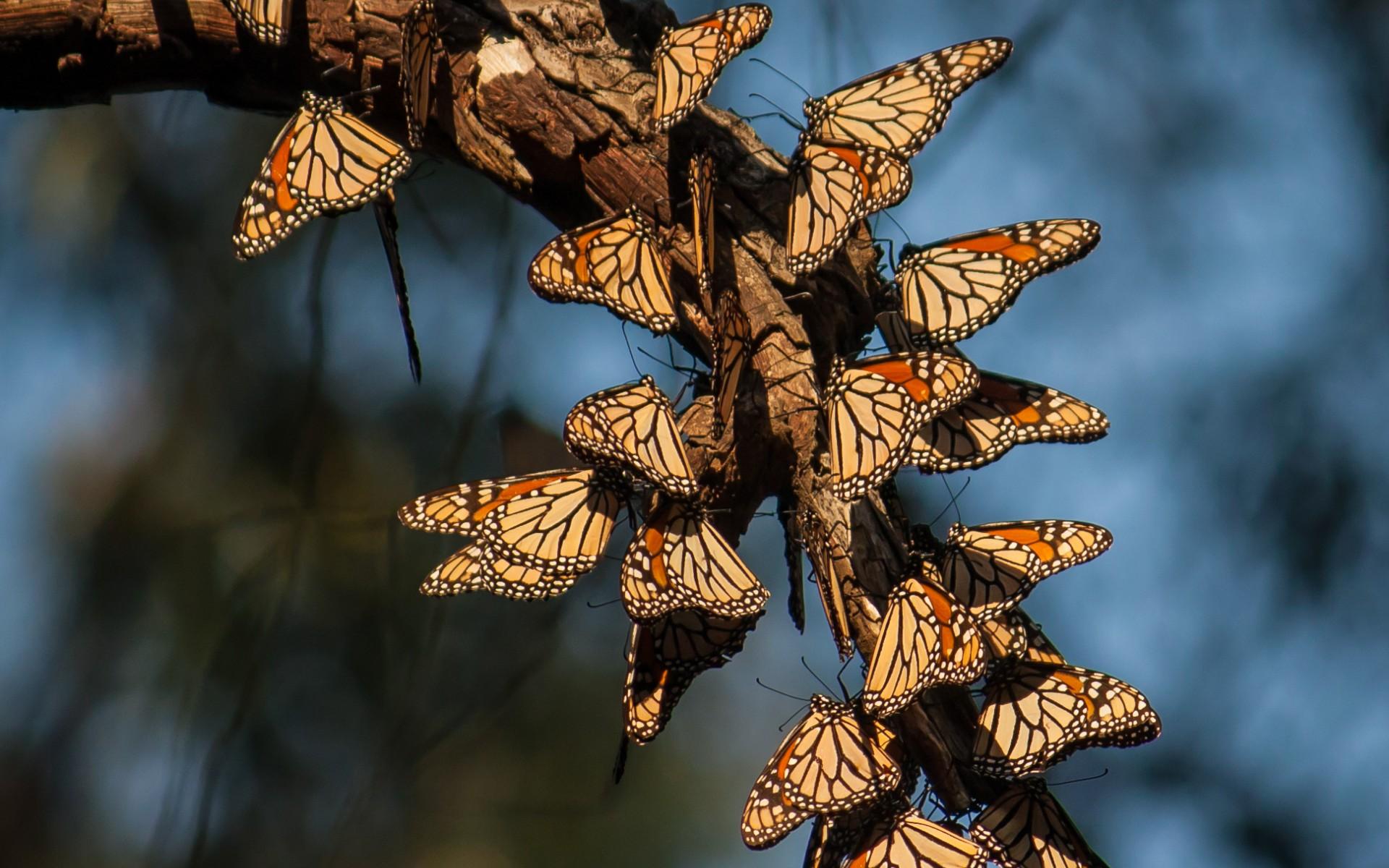 бабочки, крылья, узор