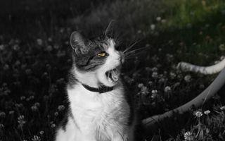 Заставки кот, зевает, фото